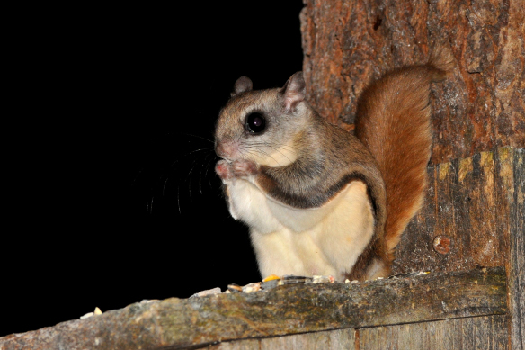 Archie - The Flying Squirrel